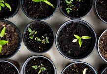 Seedlings growing in small cups