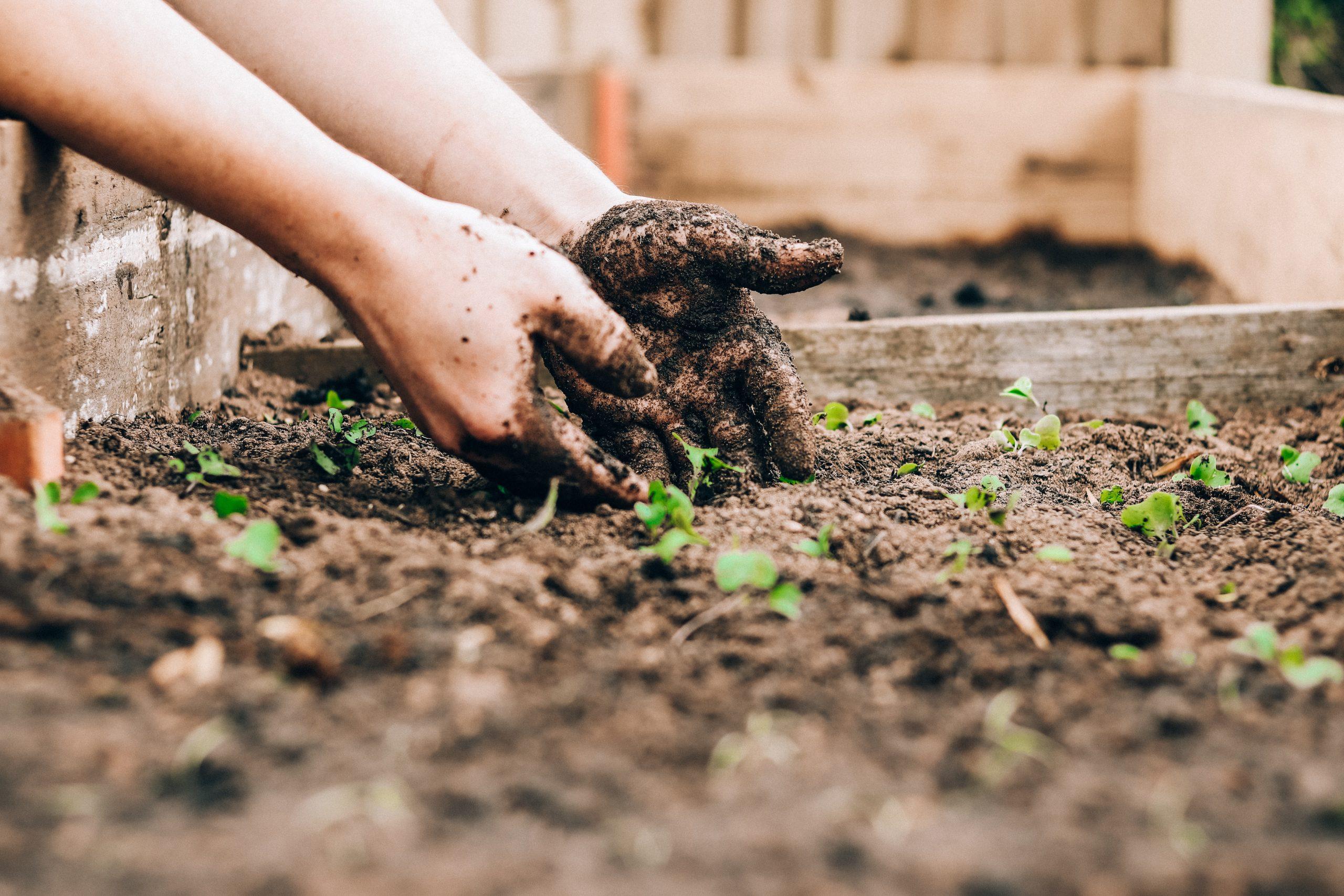 Hands digging in garden dirt