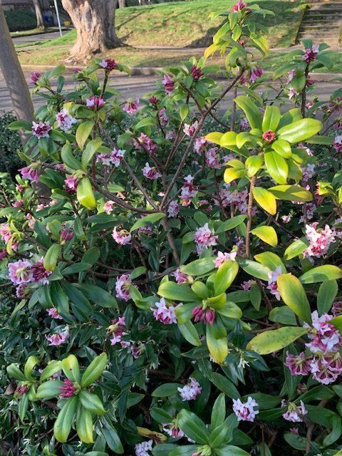 winter daphne plant in bloom