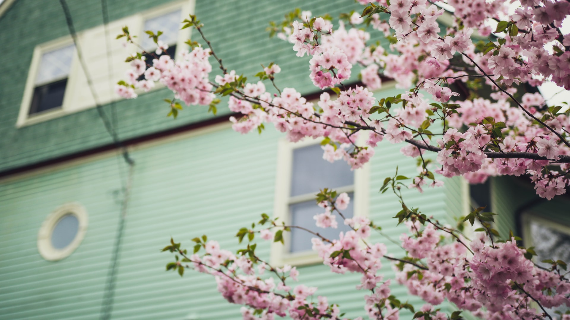 Cherry Blossoms in front of green house