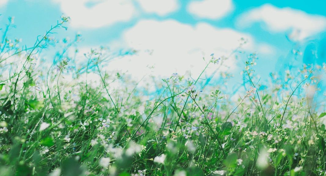 Field of plants with pollen on blue sky
